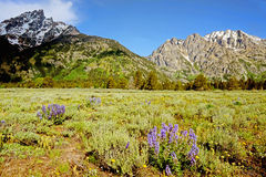 Snow capped mountains and wildflowers in Yellowstone National Park. Yellowstone National Park mountains and greenery royalty free stock images