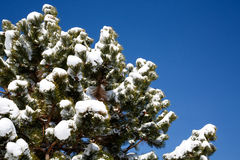 Snow Capped Pine Tree Stock Photo