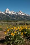 Snow capped Rocky Mountains in Grand Teton National Park Wyoming. Snow capped Rocky Mountain peaks in Grand Teton National Park, Wyoming with yellow flowers Stock Image