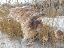 Snow-capped seed head of common reed Stock Images