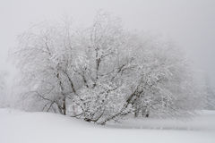 Snow-capped tree after blizzard. A tree is covered in deep snow after a blizzard. Dramatic contrast between the dark tree, the white snow and the grey fog Stock Image