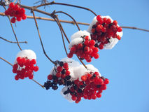 Snow caps on berries Stock Image