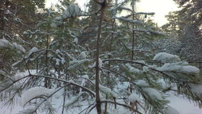 Snow caps on pine branches in winter forest stock footage