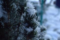 Prickly snow-covered pines on a cold winter day royalty free stock photo