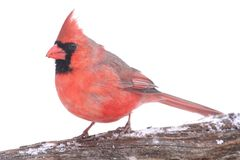 In Snow cardinal Foto de Stock Royalty Free