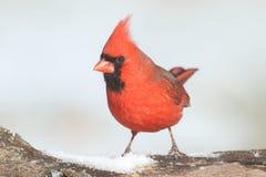 In Snow cardinal Fotografia de Stock Royalty Free