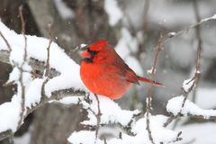In Snow cardinal Image libre de droits