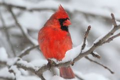 In Snow cardinal Photo stock