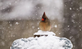 In Snow cardinal Imagen de archivo