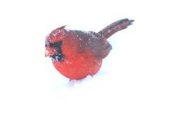In Snow cardinal Fotos de Stock Royalty Free