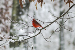In Snow cardinal Fotografia de Stock Royalty Free
