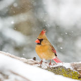In The Snow cardinal fêmea fotos de stock royalty free