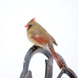 In The Snow cardinal fêmea fotografia de stock