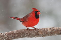 Snow Cardinal. A male Northern Cardinal (Cardinalis cardinalis) perching on a branch on a snowy day in winter Royalty Free Stock Photos