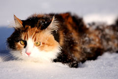 Snow cat Royalty Free Stock Photography
