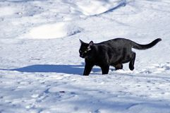 Snow cat. Large black cat walking thru belly deep white snow royalty free stock image