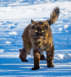 Pretty Cat in the Snow. Maine Coon Cat in the snow on a sunlit afternoon Royalty Free Stock Image