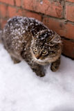 Snow cat. Photo cautiously creeping cat in the snow Stock Images