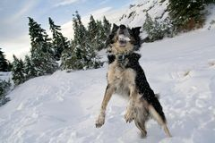 Snow Catcher. Border Collie catching a snowball Royalty Free Stock Photos