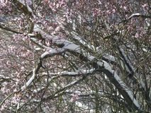 Snow on cherry tree branches in blossom. Snow lying on the branches of a tree covered in blossom in the Spring Stock Photo