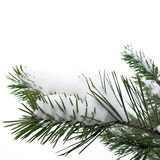 Snow and Christmas tree on white background Royalty Free Stock Photo