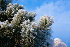 Snow-clad branch of pine Stock Images