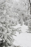 Snow-clad fir tree Royalty Free Stock Photos