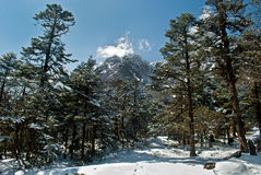 Snow clothed conifers Royalty Free Stock Photo