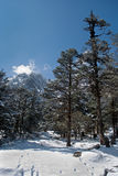 Snow clothed conifers. It is serene and peaceful snow filled roads, valley and conifers clothed in snow during winter in the Yumthang valley, Sikkim, India Royalty Free Stock Images
