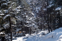 Snow clothed conifers Royalty Free Stock Photography