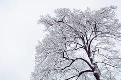 Snow Coated Tree Illustration Royalty Free Stock Photo