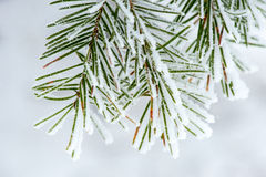 Snow Collected on Pine Needles Stock Photography