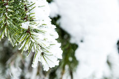 Snow Collected on Pine Needles Stock Photo