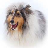 Snow Collie. Blue Merle collie on a snowy winters day Stock Photos