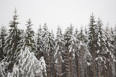 Snow on conifer forest Stock Images