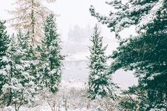 Snow in coniferous forest. Stock Photo