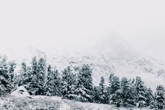 Snow in coniferous forest. Trees under the snow. Winter weather, snowfall royalty free stock photos
