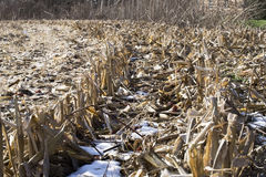 Snow in a corn field Stock Images