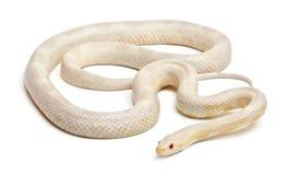 Snow Corn Snake or Red Rat Snake, Pantherophis Royalty Free Stock Image