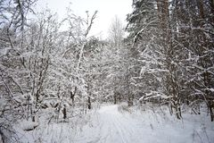 Snow cover in the forest is too white, not that in the city of gray drifts along the sidewalks. The purity of the snow of the forest is fascinating and causes stock photography