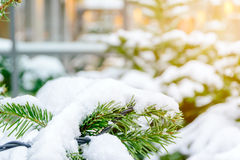 Snow cover on the leaves. Of pine due to the cold weather in the winter in the city of Lucerne, Switzerland stock photography