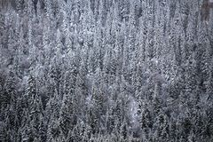 Snow cover on mountain forest. White woodland stock images