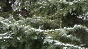Snow cover pine trees. stock footage