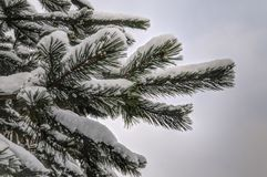 Snow coverd pine branch Stock Photography
