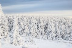 Snow Coverd Pine Trees Stock Image