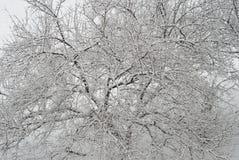 Snow-covered ветви вала Стоковое Фото
