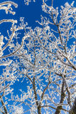 Snow-covered ветви вала Стоковые Изображения RF