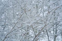 Snow-covered ветви вала Стоковая Фотография