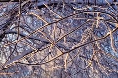 Snow-covered ветвь вала Стоковое Изображение