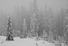 Snow Covered Alpine Trees. Royalty Free Stock Photography